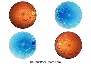 Human eye anatomy, retina, optic disc artery and vein etc.