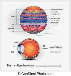 Human Eye Anatomy Vector Illustration