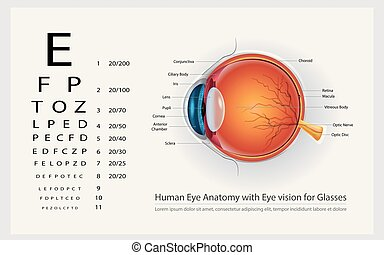 Human Eye Anatomy with Eye Vision for Glasses Vector...