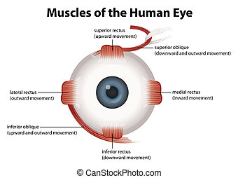 Frontal view of the human eye