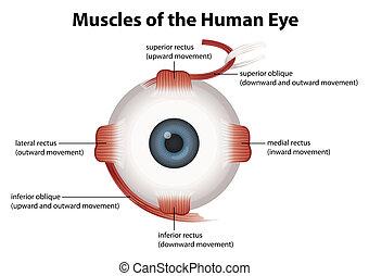 Human eye - Frontal view of the human eye