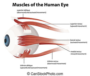 Human eye - Illustration of the muscles of the human eye