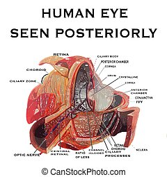 human eye seen posteriorly background with vector...
