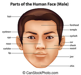 Human face - Illustration of the features of a human face