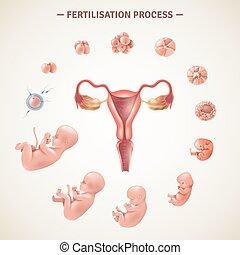 Human Fertilization Process Poster