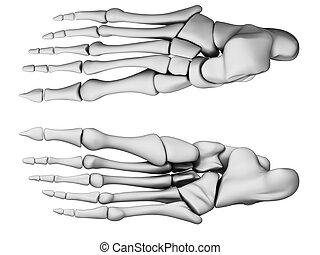 Human - foot anatomy - 3d rendered illustration - foot...