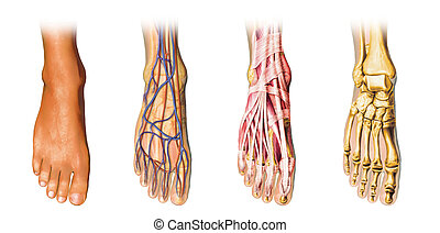 Human foot anatomy cutaway representation, showing skin, veins and arterias, muscles, bones. With clipping path included.