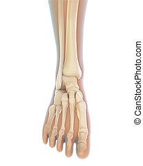 Human Foot Anatomy Illustration. 3D render