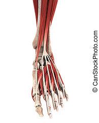Human Foot Muscles Anatomy. 3D render