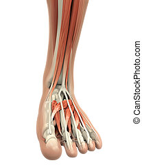 Human Foot Muscles Anatomy isolated on white background. 3D...