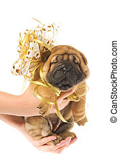 Human hadns holding beautiful sharpei puppie with golden bow...