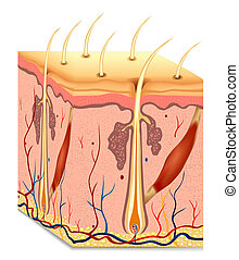 Human hair structure anatomy illustration. Vector background