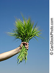 Human  hand holding bundle of the green wheat ears