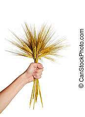 Human  hand holding bundle of the  wheat ears