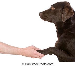 Human Hand Holding Chocolate Labrador\'s Paw