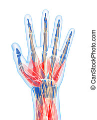 Human hand muscles - 3d rendered illustration of the human...