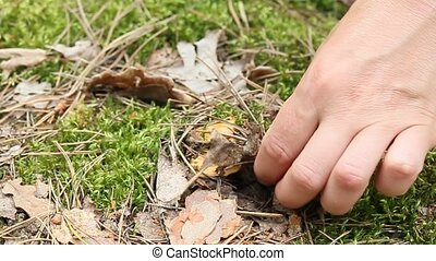 human hand pulls out small Chanterelle in the forest