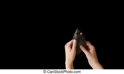 Human hand stroking the gray rat.
