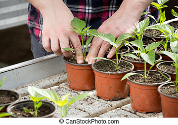 Human hands holding sprouts in flower pot