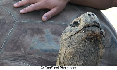 Human hands petting Galapagos tortoise. Today, giant...