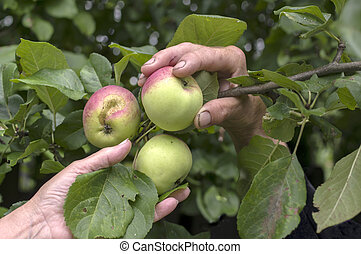 Human Hands Picking Up Apples