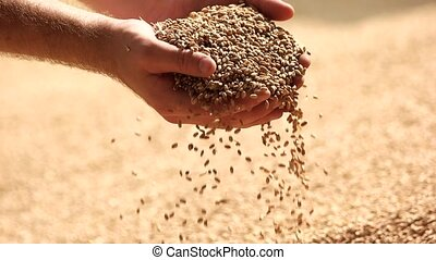 Human hands with wheat. Grabbing cereals from the pile,...