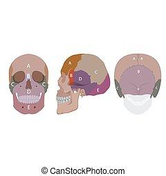 human head bones - vector illustration of human head bones...