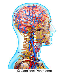 Human Head circulatory system - 3d rendered illustration of...