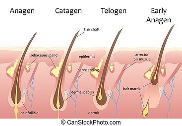 Human head hair growth cycle. Biological catagen, telogen phases. Hair infographics.