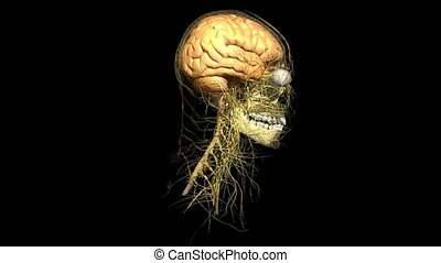 Human head rotating and showing the brain and vein system