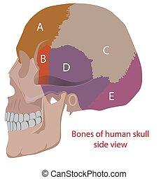 human head's bones - vector illustration of human head bones...