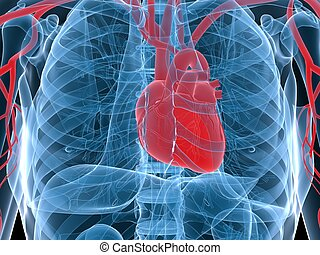 human heart - 3d rendered anatomy illustration of human...