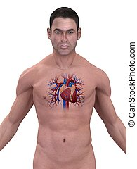 human heart - 3d rendered illustration of a human body with ...