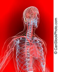 human heart - 3d rendered illustration of a human ...