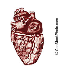 Human Heart Anatomy: chambers, valves and vessels, isolated...