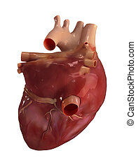 Human heart anatomy - Heart posterior view