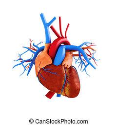 Human heart anatomy illustration