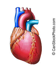 Human heart anatomy. Original hand painted illustration.