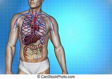 Human heart anatomy