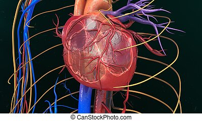 Human Heart Anatomy - The heart is a muscular organ about ...