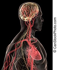 3d rendered illustration of a transparent human body with heart and brain