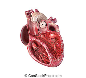 Human heart cross-section.