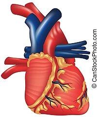 Human Heart - High detailed illustration.