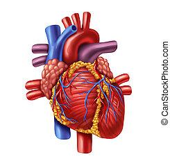 Human Heart - Human heart anatomy from a healthy body...
