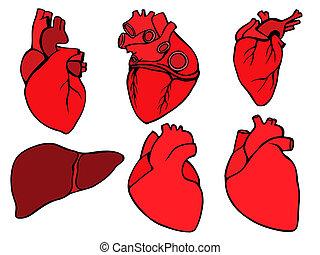 Human heart icon, cartoon style - Human hearts icon and...
