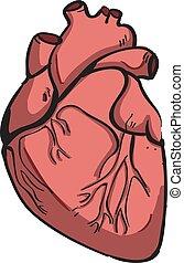 Human heart, illustration, vector on white background.