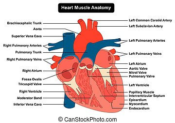 Human Heart Muscle structure Anatomy Diagram infographic ...