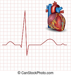 Human heart normal rhythm and heart anatomy,...