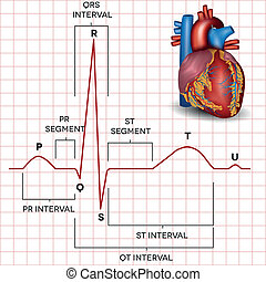 Human heart normal sinus rhythm and heart anatomy