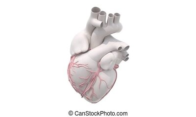 human heart organ rotation isolated on white background, 3d...